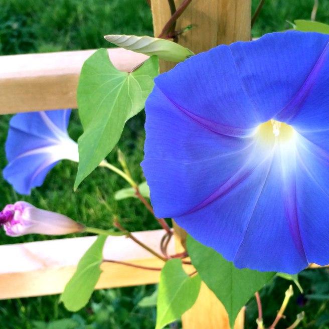 Blåddaggry-Ipomoea-tricolor