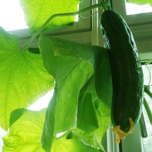 Økologiske gardiner av agurk